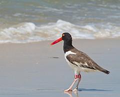 Oystercatcher #88 (MJRodock) Tags: olympus em1 mzuiko digital 40150mm f28 oystercatcher shorebird gulf mexico