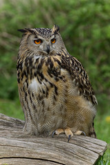 Indian Eagle Owl (MV Photography (900,000 + Views)) Tags: canon 7d nature wildlife indian eagle owl bird raptor