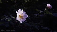 Rosa Canina (Edu.San.) Tags: umbría bosque atardecer rosa canina