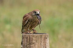 Kestrel picks up the mouse in an attempt to swallow it almost whole 500_1897.jpg (Mobile Lynn) Tags: birds birdsofprey kestrel nature bird birdofprey fauna raptor wildlife otterbourne england unitedkingdom gb