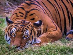 Contemplating dinner . . . (Pejasar) Tags: mammal bigcat feline resting contemplating dinner tulsazoo oklahoma zoosofnorthamerica