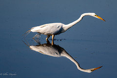 Great egret (mayekarulhas) Tags: johnheinznaturereserve bird avian wildlife canon canon7dll