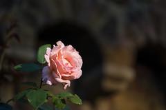 A bit over her time ... (Pascal (away)) Tags: rose blume pflanze natur schärfeverlauf flower nature unschärfe depthoffield dof plant