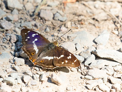 Purple Emperor (m) -explore 3.7.18 #181 (~ **Barbara ** ~) Tags: butterfly purpleemperor woodland fermyn ground large rare canon7dii explored