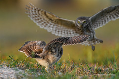 Bring It! (craig goettsch - out shooting) Tags: sanibel2018 burrowingowls capecoral bird owl chick owlet fight avian nature wildlife ngc