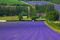 Castle Farm Kent (Adam Swaine) Tags: shoreham lavender lavenderfields darentvalley naturelovers nature kent kentishlandscapes canon purplegreen flora flowers uk ukcounties counties countryside beautiful seasons summer rural ruralkent england english englishlandscapes britain british