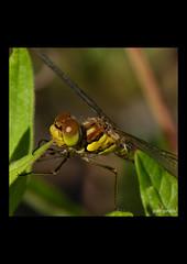 07-07-2018-4678-i (Jean Ginieis) Tags: odonate libellule anyzoptère cenevières cornus lot 46330 insectes demoiselle dragonflies sympetrumflaveolum sympetrum flaveolum