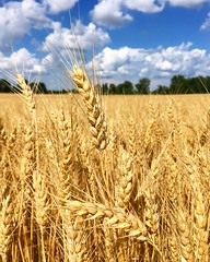 Summer Wheat (arrjryqp6) Tags: grain wheatfields blueskies golden farmlife ruralmichigan agriculture country rural farming fields wheat