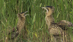 Bittern's - Anything you can do big brother (Ann and Chris) Tags: amazing awesome adorable birds two cute elusive feathers gorgeous incredible impressive juvinille juveniles stunning unusual wildlife wild wings waterbirds bittern bitterns juvenile chicks young arguing