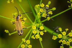 Soldier Beetle and Black Carpenter Ant on Wild Parsnip (kevinmoore57) Tags: marsh amboy ant carpenter beetle soldier parsnip wild