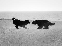Tug-o-war. (Nance Fleming) Tags: dogs summer beach beaches summer2010 water dog animal playball sand