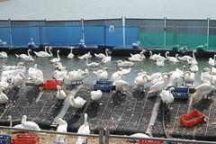 Enige honderden zwanen wachten na de geslaagde reiniging op hun vrijheid (Roel Wijnants) Tags: zwanen olie vervuiling tanker lek schoonmaak dierenbescherming vrijwilligers nieuwewaterweg waterkering