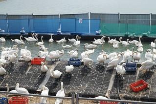 Enige honderden zwanen wachten na de geslaagde reiniging op hun vrijheid