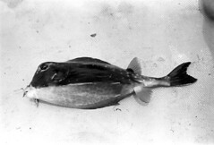 073270 23 (ndpa / s. lundeen, archivist) Tags: nick dewolf nickdewolf july blackwhite photographbynickdewolf bw 1970 1970s monochrome blackandwhite film mexico mexican yucatán yucatan yucatanpeninsula islamujeres island caribbean fish localfish catchoftheday cowfish