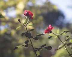DSC09049 (Old Lenses New Camera) Tags: sony a7r kodak medalist ektar heliar 100mm f35 plants garden flowers rose roses