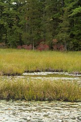 Pine Barrons (18) (Framemaker 2014) Tags: pine barrens wharton state park burlington county new jersey forest united states america