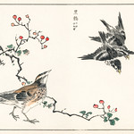 Dosky Thrush and Japanese Grey Thrush illustration from Pictorial Monograph of Birds (1885) by Numata Kashu (1838-1901). Digitally enhanced from our own original edition. thumbnail