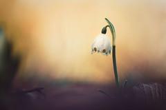 the last stand (christian mu) Tags: flowers bokeh nature spring germany muenster münster botanicalgarden botanischergarten schlossgarten sony sonya7riii sonya7rm3 9028g 9028 90mm macro christianmu