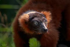 Lemur (Thilo Sengupta) Tags: lemur affe zoo animals ape natur nature wildlife