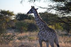 DSC_3484 (Andrew Nakamura) Tags: namibia otjiwarongo projectdragonfly earthexpeditions waterbergconservancy cheetahconservationfund animal wildlife giraffe giraffidae mammal ungulate gamecount