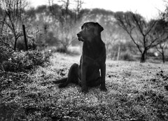 Slow cruise morning walk (Buck777) Tags: acros xh1 fuji oldboy rest veteran senior dog labradorblack