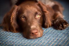 Aiko (GeorgKazrath) Tags: aiko geschärft hundauko dogs hunde canon5dmark3 canonef135mmf2l 135mm portrait portraiture pets petportraiture welpen puppies