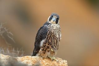Young falcon stare