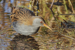 WATER RAIL (_jypictures) Tags: animalphotography animals animal canon canon7d canonphotography wildlife wildlifephotography naturephotography nature photography pictures birdwatching birdingphotography birding birds bird birdphotography birders bristolzoo waterrail ukwildlife ukbirding ukbirds