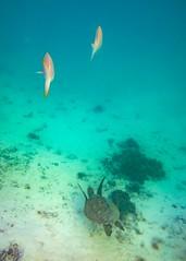 Heron Island Snorkel Underwater-4 (Quick Shot Photos) Tags: aquatechimagingsolutions canon canoncollective heronisland padi queensland scuba underwater snorkel bogie australia au