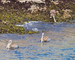 Pelicans (fzx_is_phun) Tags: outdoorphotography wildlife wildlifephotography canon canon7d canonphotography pointlobosstatereserve centralcoast california centralcalifornia montereybay