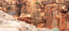 Black-flanked Rock-wallaby (Petrogale lateralis lateralis) (BenParkhurst) Tags: wallaby rock coralcoast aves petrogalelateralis macropod rocky rockwallaby australia outdoor yardiecreek outback 2018 animal shy caperangenationalpark agile westernaustralia wa benparkhurst blackflankedrockwallaby nearthreatened blackfootedrockwallaby nationalpark wary mammal fauna redrock gorge marsupial