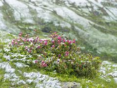 P6230026 (turbok) Tags: almrausch alpenpflanzen pflanze schnee schneeundeis wildpflanzen c kurt krimberger