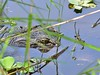 O2K_9584 (68photobug) Tags: 68photobug nikon d7000 sigmadg 150500mm usa centralflorida polkcounty lakeland preserve refuge sanctuary nature circlebbar americanalligator gatorgrowl gator matingseason marshrabbitrun