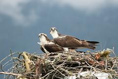 Osprey (edpaul Photos) Tags: bcbirds birding breeding bcbirders nature wildlife habitat wings waterfront osprey