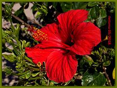 Torremolinos 16 hibisco rojo.CR2 (ferlomu) Tags: ferlomu flor flower hibisco málaga torremolinos