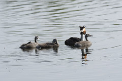 Great Crested Grebe - kids day out (FergalSandra) Tags: dundalk louth ireland greatcrestedgrebe