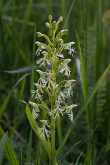 Platanthera lacera (Ragged Fringed orchid) (jimf_29605) Tags: platantheralacera raggedfringedorchid blueridgeparkway northcarolina sony a7rii 90mm alleghenycounty