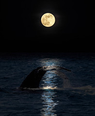 Magic Gift (Louise Lindsay) Tags: 400mm 62718 keylargo m10 fullmoon greatwhiteheron moonbeamsonwater oceanside oly whalesplusmoon