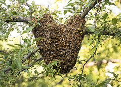 Heart Shaped Swarm_Crabapple Tree (Thomas Muir) Tags: apismellifera apiary honeybee queen worker agriculture nikon d850 ohio perrysburg woodcounty outdoor insect feral hive cluster summer solstice sun season beekeeper