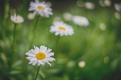daisies (kderricotte) Tags: flower plant daisy bokeh depthoffield sony sonya7ii ilce7m2 garden meadowlarkbotanicalgardens helios helios44m458mmf2
