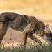 Coyote in Santa Teresa Park