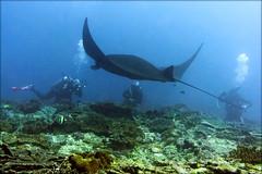 Встреча. Meeting with black manta (atardecer2018) Tags: дайвинг бали 2017 scubadiving diving underwater bali manta fish
