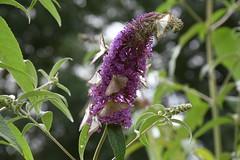 DSC_1338 (griecocathy) Tags: arbre papillons fleur feuille boutons vert violet crème éclat macro