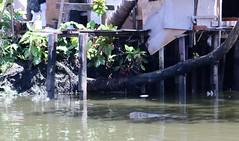 "Bangkok: Monitor (Ali Bentley) Tags: bangkok thailand southeastasia klong khlong ""longtail boat"" monitor lizard reptile"