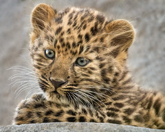 Kitten Innocence (Penny Hyde) Tags: amurleopard babyanimal bigcat cub leopard leopardcub sandiegozoo