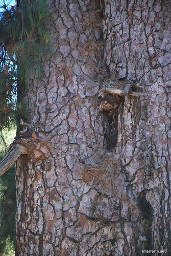 Найстаріша канарська сосна, Тенеріфе, Канари  InterNetri  13