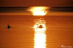 Entrer dans la lumière (jean-daniel david) Tags: leverdesoleil lumière or cygne oiseau oiseaudeau réservenaturelle reflet lac lacdeneuchâtel vaud yverdonlesbains sunrise suisse suisseromande