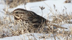Song Sparrow (Melospiza melodia) 01-08-2018 Assateague I. NS--Oceanside Campground , Worcester Co. MD 1 (Birder20714) Tags: birds maryland sparrows emberizidae melospiza melodia