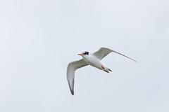 NGID411808605 (naturgucker.de) Tags: ngid411808605 flussseeschwalbe regenpfeiferartige seeschwalben sterna vögel wirbeltiere