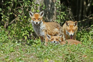 A local family of Red Foxes. This is Mum, Dad and a Young'un.